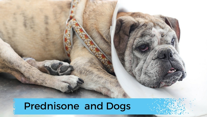 Prednisone use in dogs weight gain