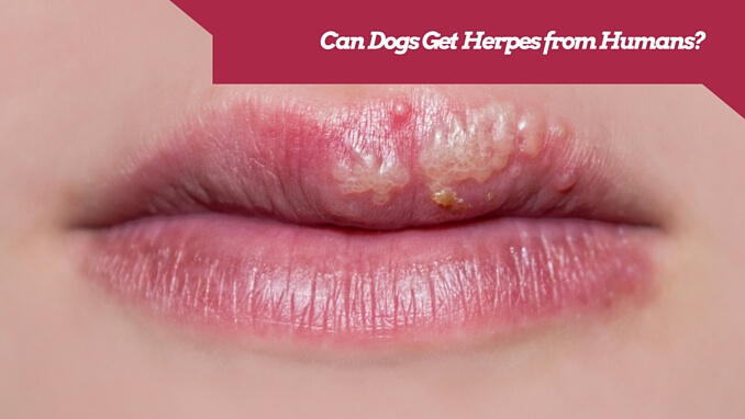 What Are the Symptoms of Canine Herpes in Adult Dogs 2